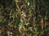 A White-Tailed Deer Doe Peeking from a Briar Patch Photographic Print by Raymond Gehman