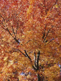 A Claret Ash Tree in its Autumn Colors Photographic Print by Jason Edwards