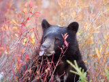 A Black Bear Eats a Blueberry While Adding Weight for Hibernation Reproduction photographique par Taylor S. Kennedy