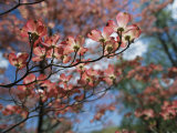 Pink Dogwoods in Bloom Photographic Print by Darlyne A. Murawski