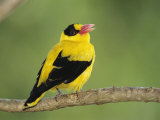 Golden Oriole Sitting on a Tree Branch Photographie par Tim Laman