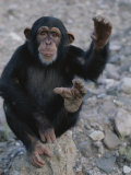 An Obliging Chimp Shows off the Splayed Big Toe Typical of Ape Feet Fotografiskt tryck av Kenneth Garrett