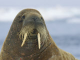 Whiskers and Tusks Adorn the Face of an Adult Atlantic Walrus Photographic Print by Norbert Rosing