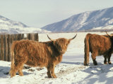 West Highland Cattle Photographic Print by Dick Durrance