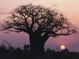 A Silhouetted Baobab Tree at Sunset Photographic Print by Medford Taylor