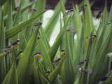 A Flock of Bananaquit Birds Perched on Aloe Leaves Photographic Print by Jodi Cobb