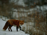 Red Fox in the Snow Photographic Print by Raymond Gehman
