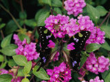 A Purple Passion Butterfly Lands on Pink Flowers Photographic Print by Roy Toft
