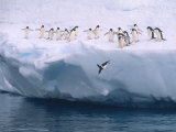 A Group of Adelie Penguins Taking Turns Leaping off an Iceberg Reproduction photographique par Ralph Lee Hopkins