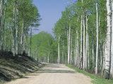 Road Through an Aspen Forest, Manti La Sal Mountains Photographic Print by Rich Reid