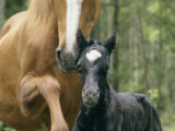 Wild Horse with a Newborn Foal Photographic Print by Sisse Brimberg