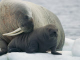 A Female Walrus Nuzzles Her Infant Photographic Print by Norbert Rosing