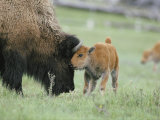 A Female Bison Stands Patiently as Her Young Calf Plays with Her Horns Photographic Print by Tom Murphy