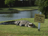 An American Alligator on a Lawn Next to a Humorous Warning Sign Photographic Print by Raymond Gehman