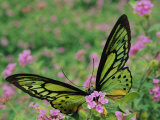 A Captive Birdwing Butterfly Lands on a Pink Flower Lámina fotográfica por Roy Toft