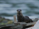 A River Otter Perched on Planks of Wood in Knight Inlet Photographic Print by Joel Sartore