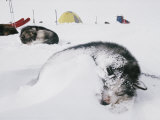 Huskies Curl up for a Nap in the Snow Photographic Print by Gordon Wiltsie