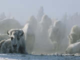 A Frost-Covered Herd of American Bison Brave the Freezing Winter Weather Fotografisk trykk av Tom Murphy
