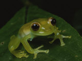 A Close View of a Cute Little Green Frog Fotografie-Druck von George Grall