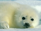 A Newborn Harp Seal Pup in a Thin White Coat Stares Directly at the Camera Photographic Print by Norbert Rosing