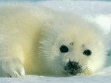 Un cucciolo di foca della Groenlandia dal manto candido fissa l'obiettivo Stampa fotografica di Norbert Rosing