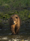 A Serious Looking Brown Bear Crossing a Stream Photographic Print by Ralph Lee Hopkins