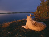 A White Husky Gazes at the Water Photographic Print by Paul Nicklen