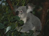 A Koala Clings to a Eucalyptus Tree in Eastern Australia Photographic Print by Nicole Duplaix