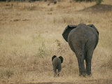 A juvenile African elephant and its parent walk off into the savanna Lámina fotográfica por Roy Toft