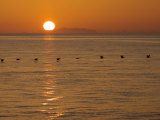 A Flock of Brown Pelicans Flying Low over the Water at Sunset Fotografisk tryk af Ralph Lee Hopkins