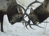 Two Bull Elk Lock Antlers in Confrontation Photographie par Tom Murphy