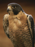 Retrato de halcn peregrino (Falco peregrinus) Lmina fotogrfica por Michael Melford