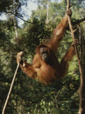 An Orangutan Swings on Jungle Vines Photographic Print by Michael Nichols
