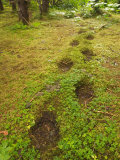 Brown Bear Tracks in Soft Earth in a Woodland Setting Photographic Print by Ralph Lee Hopkins
