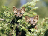 A Pair of Captive Pine Martins Stand on a Tree Branch Photographic Print by Tom Murphy