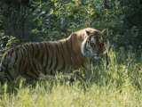 A Tiger in the Grass Photographie par Dr. Maurice G. Hornocker