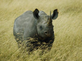 A Straight on View of a Rhinoceros in a Field of Tall Grass Photographic Print by Todd Gipstein