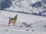 A Coyote Howls While out on the Snow-Covered Terrain Photographic Print by Tom Murphy