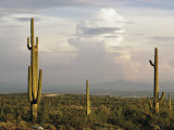 Desert Scene with Saguaro Cacti Near Tucson Photographic Print by Walter Meayers Edwards