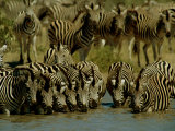 Zebras Drinking at a Water Hole Photographic Print by Beverly Joubert