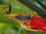 A Scorpion, Native to Costa Rica, Perched on a Red Leaf Photographic Print by Roy Toft