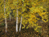 Birch Trees Along the Mackenzie River Photographic Print by Raymond Gehman