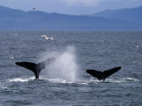 Tail Flukes of Diving Humpback Whales as They Feed Photographic Print by Ralph Lee Hopkins