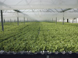 Hydroponic Lettuce is Grown in an Acre of Greenhouse Troughs Photographic Print by Joseph H. Bailey