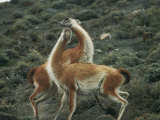 A Pair of Guanacos Strike a Dance-Like Pose Photographic Print by Skip Brown