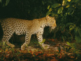 Picture of a Patrolling Leopard Taken by a Camera Trap Photographic Print by Michael Nichols