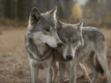 A Couple of Gray Wolves, Canis Lupus, Stand Next to One Another Reproduction photographique par Jim And Jamie Dutcher