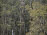 Spanish Moss-Draped Trees in Alabama Photographic Print by Medford Taylor