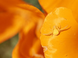 A Goldenrod Spider Waits for Prey on a California Poppy Flower Photographic Print by Rich Reid