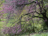 View of a Blooming Redbud Tree Photographic Print by Darlyne A. Murawski